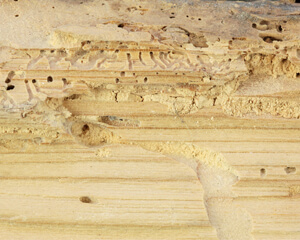 Woodworm?